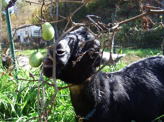 Goat eating a tomato
