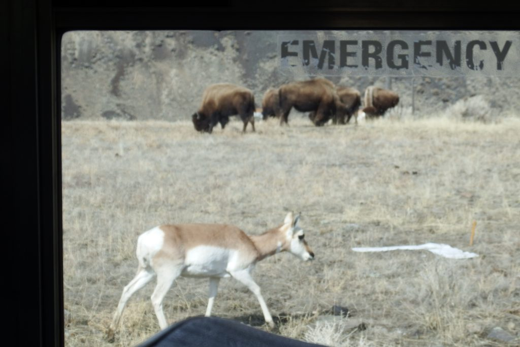 Pronghorn antelope and bison