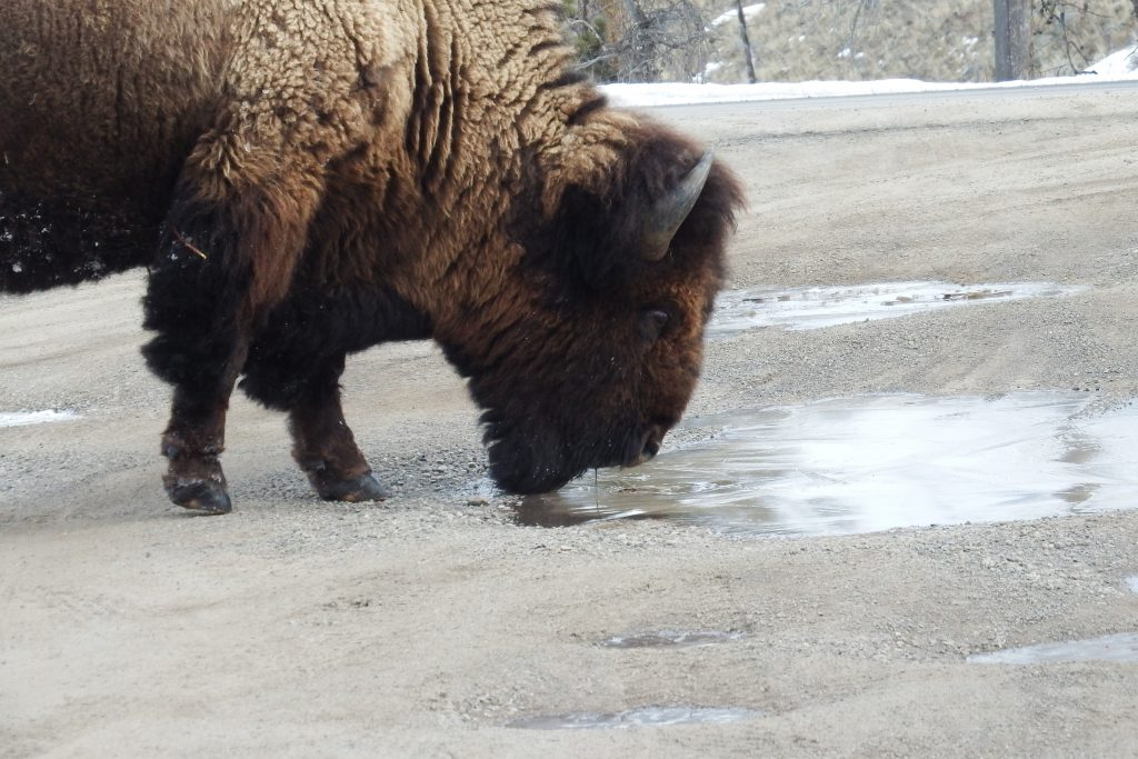 Buffalo drinking from a puddle