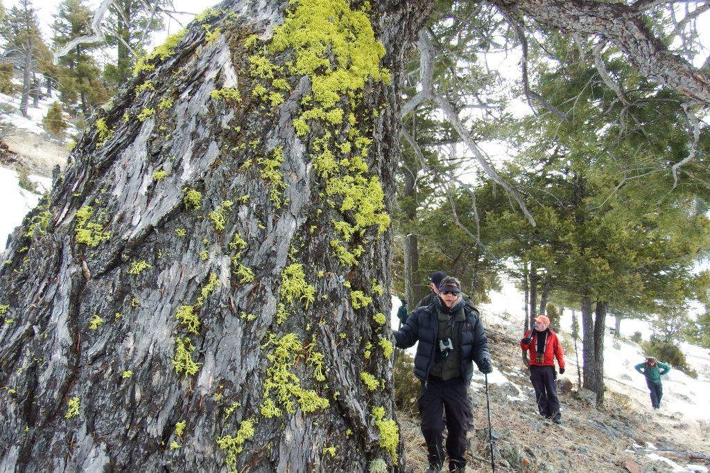 Yellowstone lichen