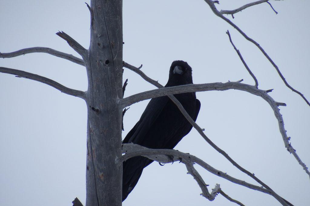 Raven on a dead tree