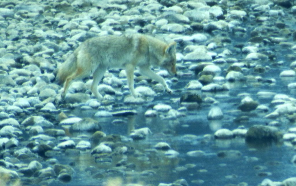 Coyote by a stream