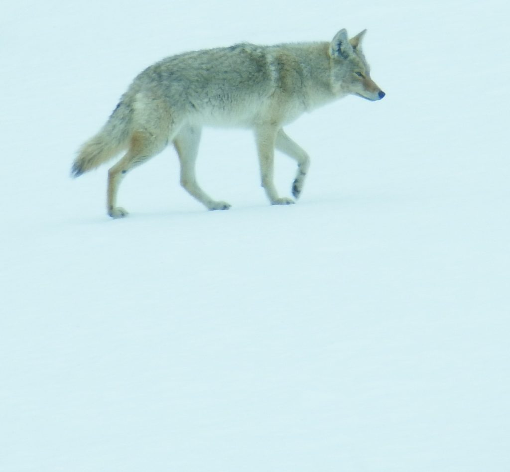 Coyote against white snow